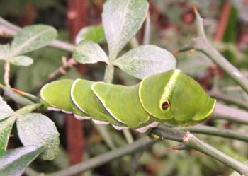 梨の葉につく芋虫.png